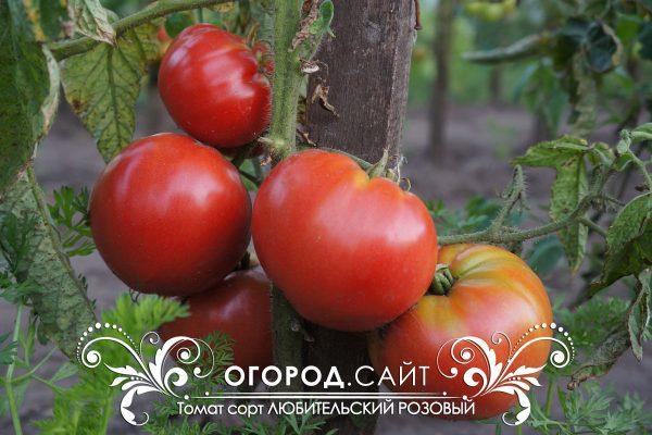 pomidor_lyubitelskiy_rozovy_1