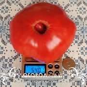 pomidor_lyubitelskiy_rozovy_4