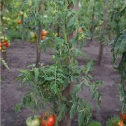 pomidor_mashenka_1