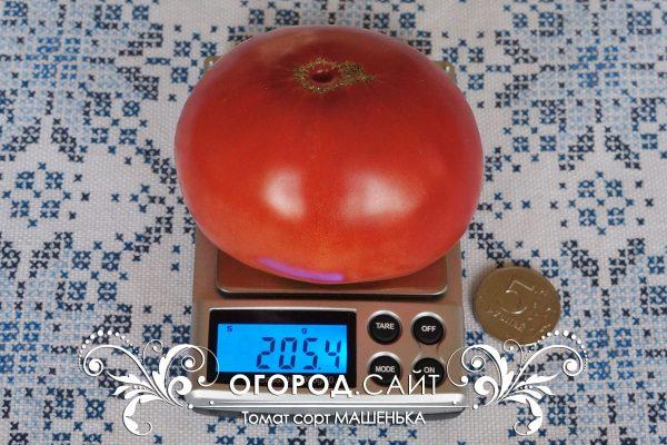 pomidor_mashenka_2