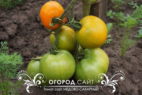 pomidor_medovo-saharny_2