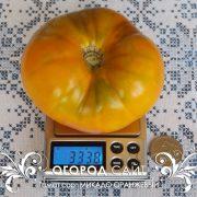 pomidor_mikado_oranzhevy_1