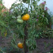 pomidor_mikado_oranzhevy_3