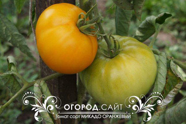 pomidor_mikado_oranzhevy_4