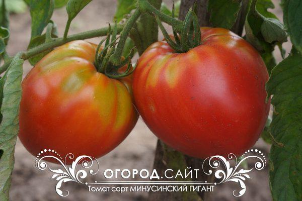 pomidor_minusinskiy_gigant_1