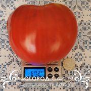 pomidor_minusinskiy_gigant_2
