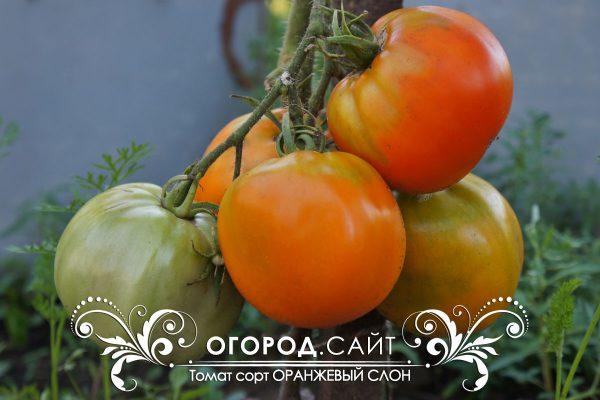 pomidor_oranzhevy_slon_1