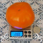 pomidor_oranzhevy_slon_2