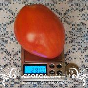 pomidor_orliny_kluv_2