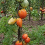 pomidor_orliny_kluv_3