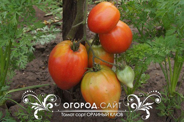pomidor_orliny_kluv_5