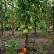 pomidor_pertsevidny_polosaty_6