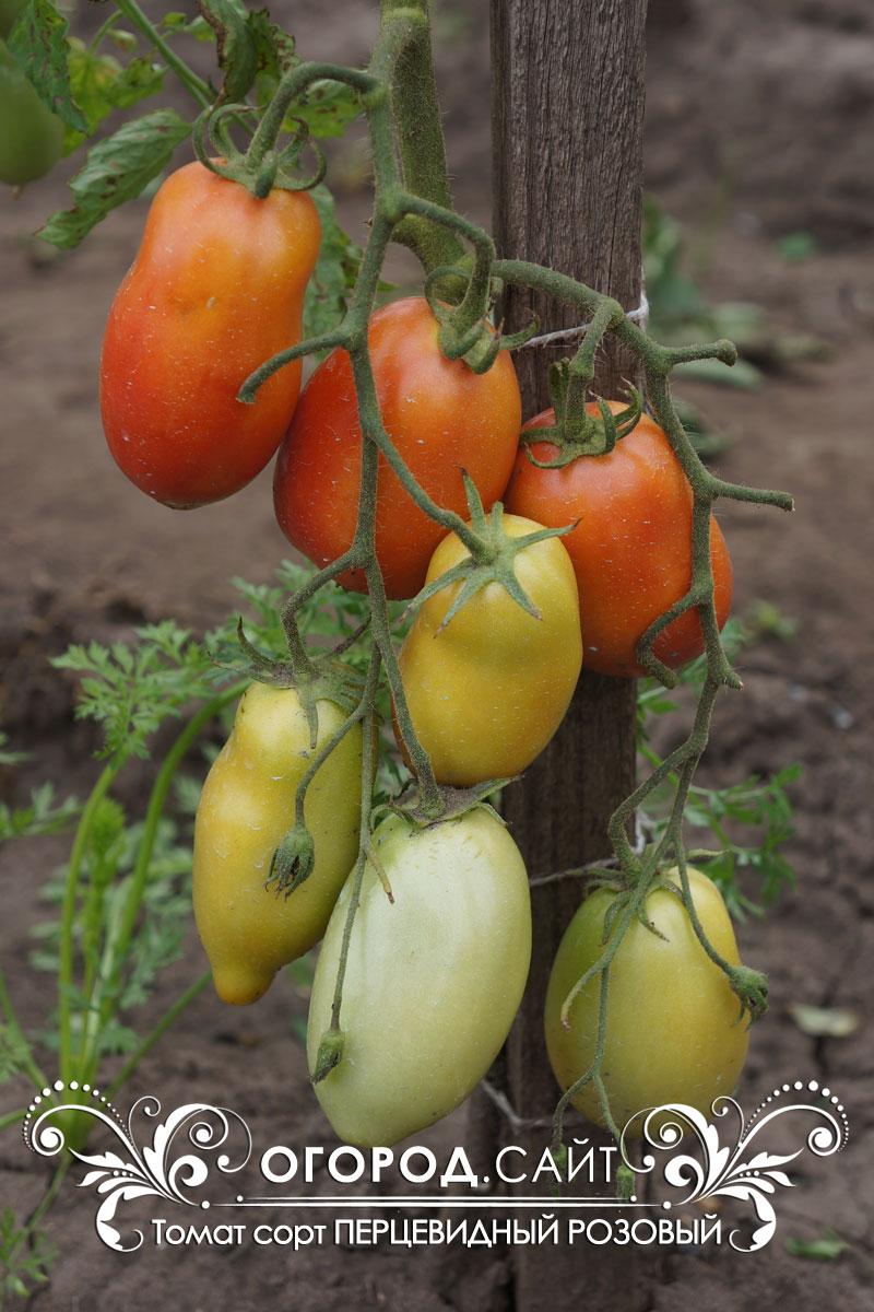 муку томат цитрина отзывы фото при последствиях венозных