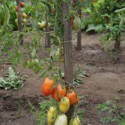 pomidor_pertsevidny_rozovy_4