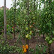 pomidor_pertsevidny_zhelty_3