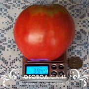 pomidor_pudovik_1