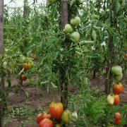 pomidor_pudovik_3