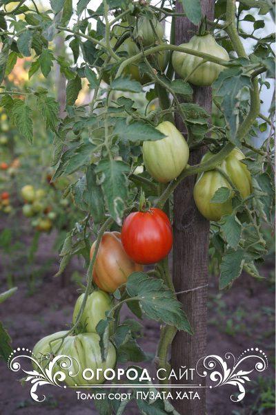 pomidor_puzata_hata_2