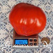 pomidor_puzata_hata_3