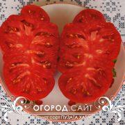 pomidor_puzata_hata_5