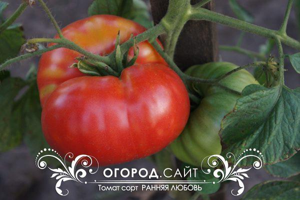 pomidor_rannyaya_lubov_1