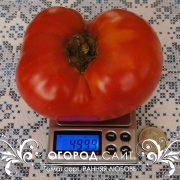 pomidor_rannyaya_lubov_2