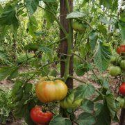 pomidor_rannyaya_lubov_3