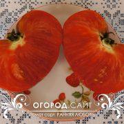 pomidor_rannyaya_lubov_4