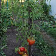 pomidor_razbitoe_serdechko_1