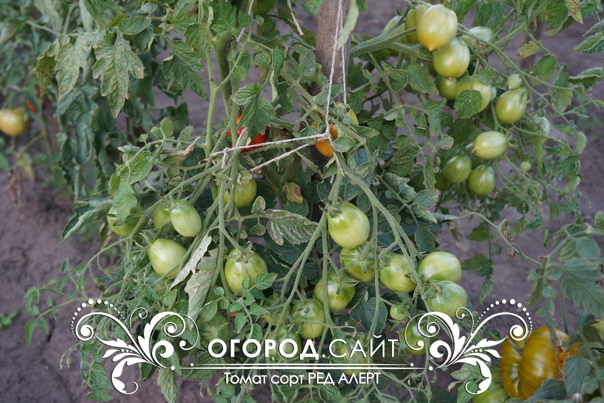 начертана помидоры пудовик отзывы с фото жанре гарем