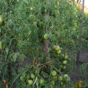 pomidor_red_alert_4