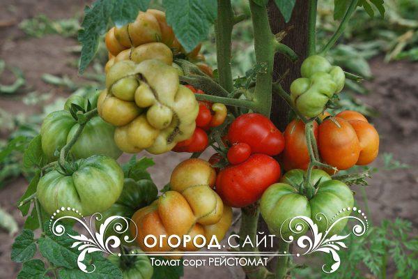 pomidor_reisotomat_1