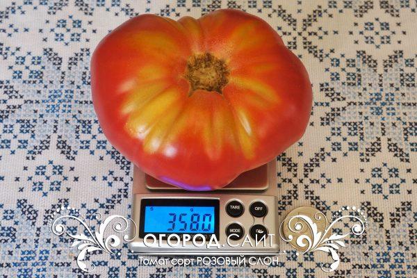 pomidor_rozovy_slon_1