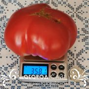 pomidor_rozovy_slon_2