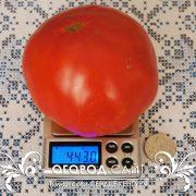 pomidor_serdtse_kenguru_4