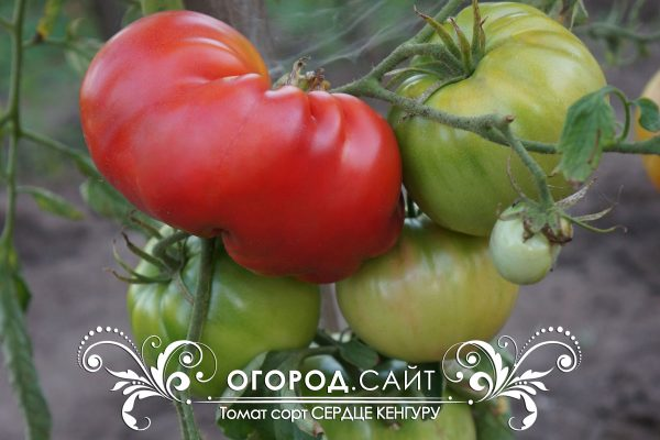 pomidor_serdtse_kenguru_7