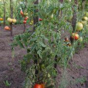 pomidor_sibirskaya_troyka_1