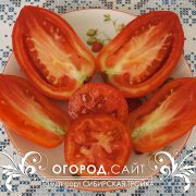 pomidor_sibirskaya_troyka_3