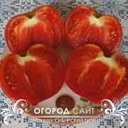 pomidor_sibirskiy_gigant_2