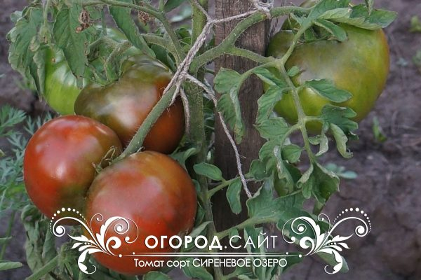 pomidor_sirenevoe_ozero_1