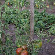 pomidor_sirenevoe_ozero_4
