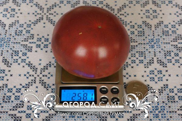 pomidor_sirenevy_tuman_1