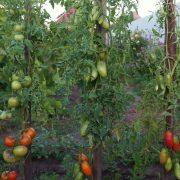 pomidor_sosulka_oranzhevaya_3