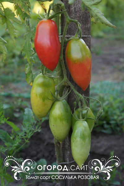 pomidor_sosulka_rozovaya_3