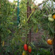 pomidor_sosulka_rozovaya_4