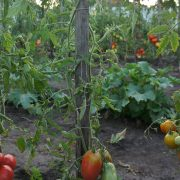 pomidor_sozvezdie_raka_2