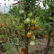 pomidor_stopudov_2