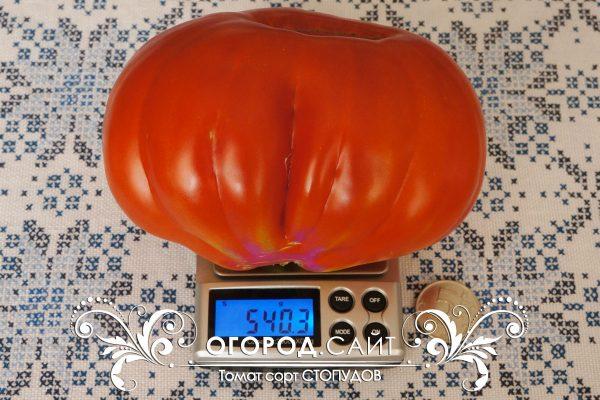 pomidor_stopudov_5