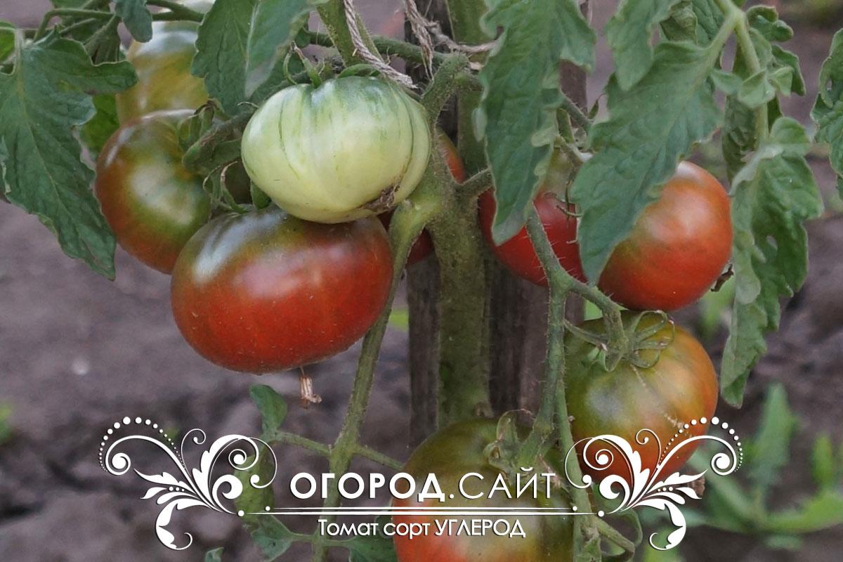 пышные помидоры углерод отзывы фото кому-то понятно