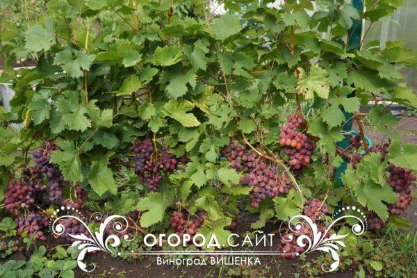 vinograd-vishenka-1